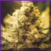 Female Lemon Kush Feminised 4 Marijuana Seeds